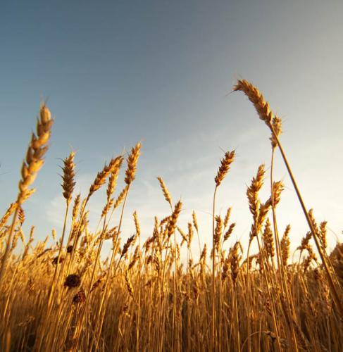 Пшеница 1054