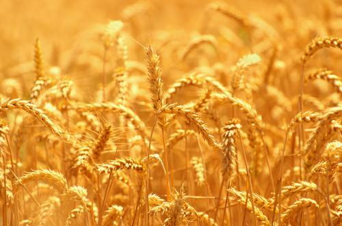 Пшеница 20075