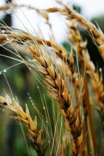 Пшеница 4556