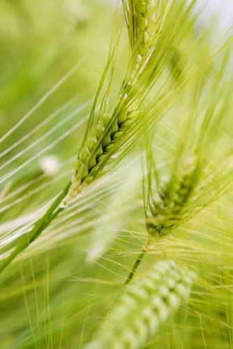 Пшеница 5971