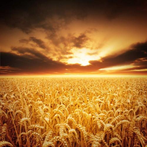 Пшеница 5978