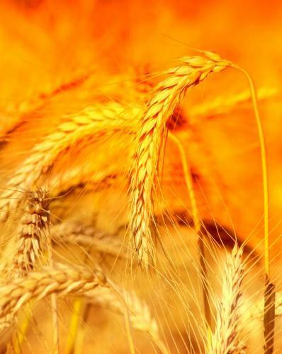 Пшеница 5981