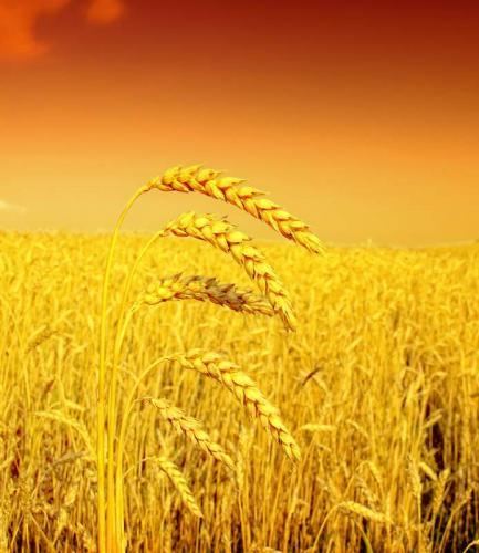 Пшеница 5982