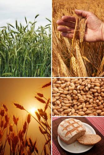 Пшеница 5983