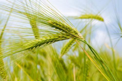 Пшеница 5986