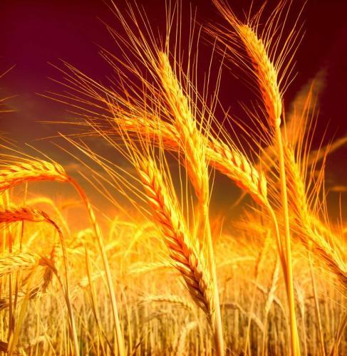 Пшеница 5987