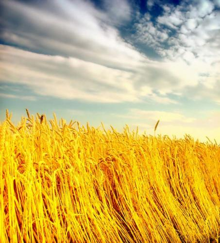 Пшеница 5989