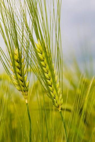 Пшеница 5990