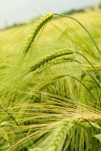 Пшеница 5991
