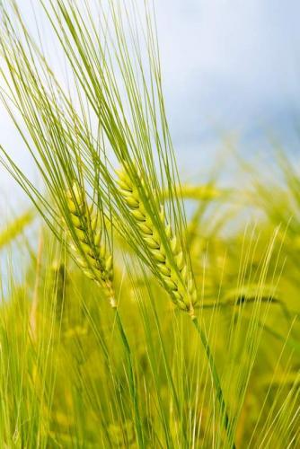 Пшеница 5993