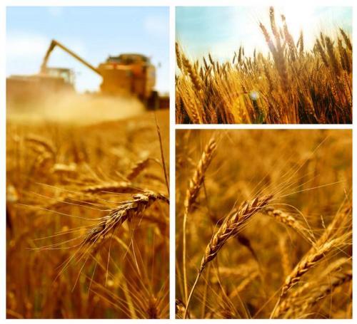 Пшеница 5995