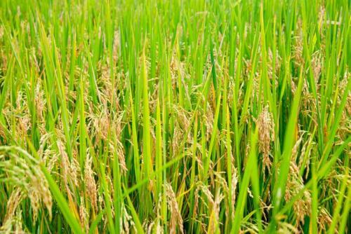 Пшеница 5998