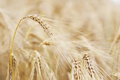 Пшеница 831