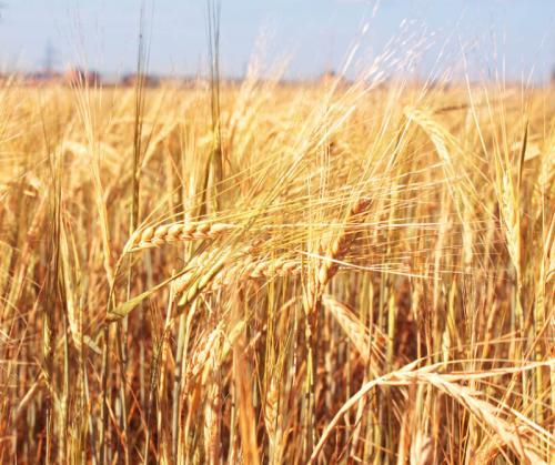 пшеница 369