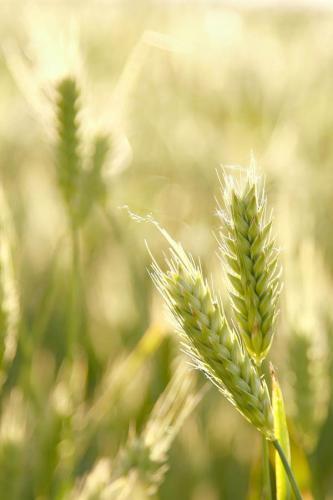 пшеница 370