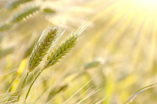 пшеница 371