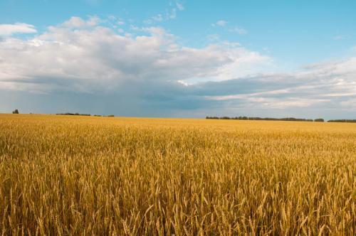 пшеница 373