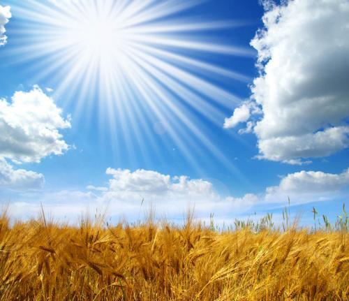 пшеница 374