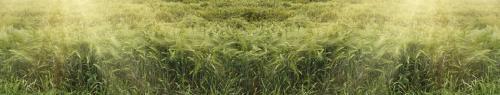 Пшеница  8002
