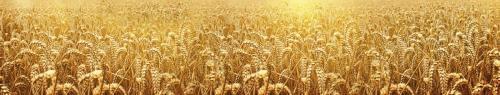 Пшеница-2